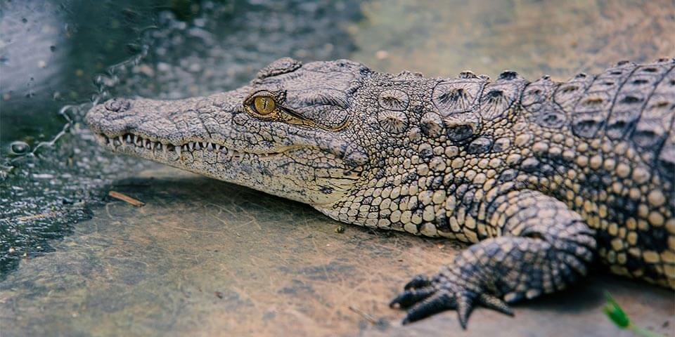 nile crocodiles in florida everglades 01